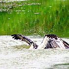 osprey by Larry Baker