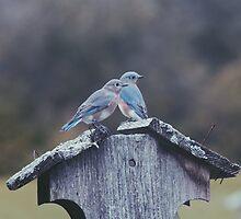 Blue birds in sight  by kgrace