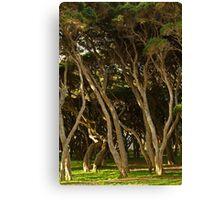 Tea Trees, Angesea Coastline Canvas Print