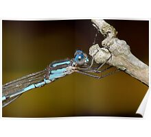 Wandering ringtail - Austrolestes leda Poster