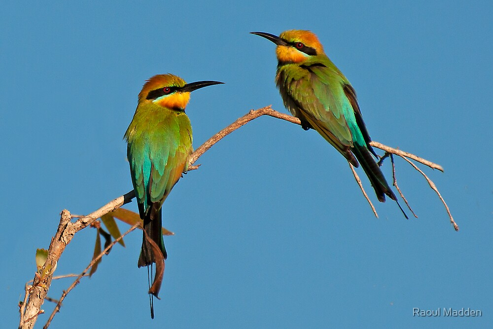RAINBOW BEE- EATERS by Raoul Madden