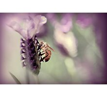 Bee in Lavender II Photographic Print