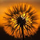 Dandelion Sunset - Free state, South Africa by Qnita