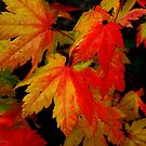 Leafs Of Joy ~ Vine Maple ~ by Charles & Patricia   Harkins ~ Picture Oregon