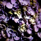 ~Lavender Hydrangea~ by a~m .