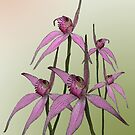 Cerise Spider Orchids by Leonie Mac Lean