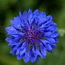 Blue Bachelor's Button Flower by Mechelep