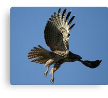 Red Tail In Flight Canvas Print