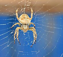 Spider Spider by Lynda   McDonald
