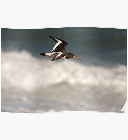 Oystercatcher in flight Poster