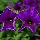 Purple Petunia's by Mechelep