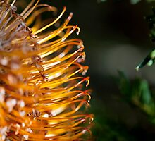 Banksia Bathed in Sunlight by Malcolm Katon