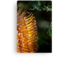 Banksia Bathed in Sunlight Canvas Print