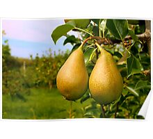 Two ripe pears Poster