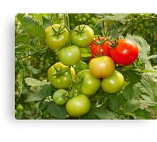 Green and red tomatoes Canvas Print