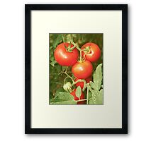 Bunch with red tomatoes Framed Print