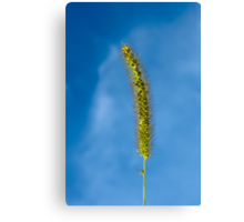 Foxtail green inflorescence closeup Canvas Print