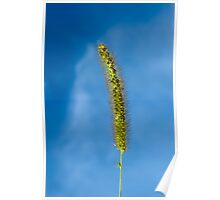 Foxtail green inflorescence closeup Poster