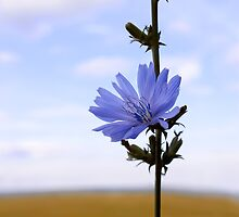 Chicory flower by qiiip