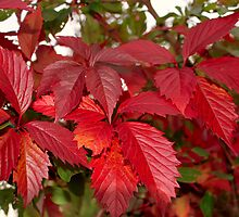 Red leaves of wild grapes by qiiip