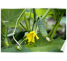 Cucumbers in greenhouse Poster