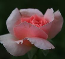 Pink Rose by Michael L. Colwell