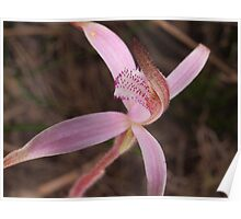 pink tinged spider orchid ?Caladenia hirta rosea Poster