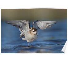 Red-necked Phalarope wing flap. Poster