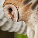 Barn Owl by Bill Maynard