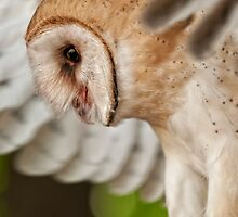Barn Owl by Bill Maynard