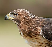 Broad-Winged Hawk by Bill Maynard