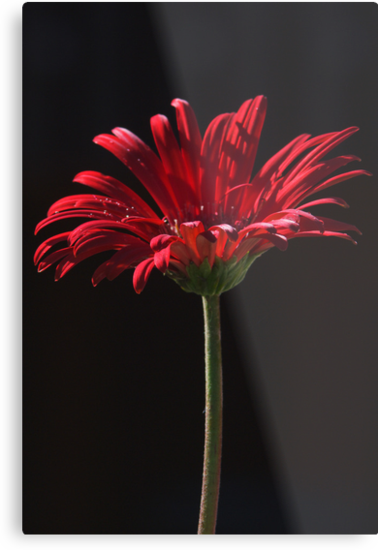 the first springtime gerbera by Clare Colins