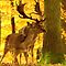 (Land Mammals Category) - Family - Cervidae - Deer