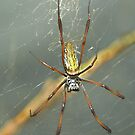 Silk Spider - Cincinnati Zoo by Kathy Newton