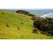 Kangaroos with Joeys grazing Photographic Print