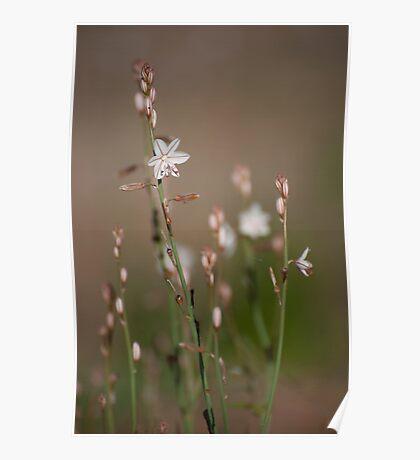 Delicate - Australian wildflowers Poster