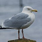 Herring Gull....Adult by VoluntaryRanger