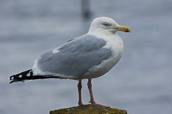 Herring Gull....Adult by Jamie  Green