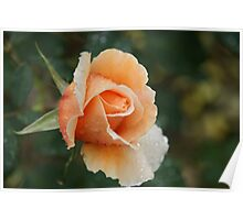 Orange Rose in the rain Poster