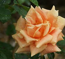 Orange rose in the rain 2 by JudeStarr