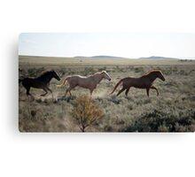 Run like the wind - horses in south Australia Canvas Print