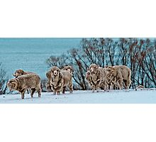 Rams in Snow Photographic Print