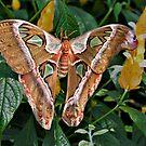 Cobra moth by PhotosByHealy
