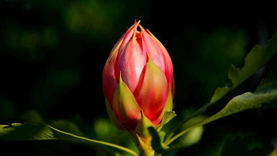 Budding Waratah by Erland Howden