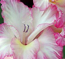 pink gladioli by liza scott