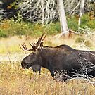 Big Bull Moose, Algonquin Park by Jim Cumming