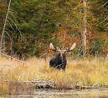 Bull Moose, Algonquin Park by Jim Cumming