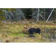 Bull Moose, Algonquin Park Photographic Print