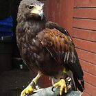 Harris Hawk by buddybetsy