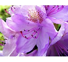 Purple Rhododendron Photographic Print